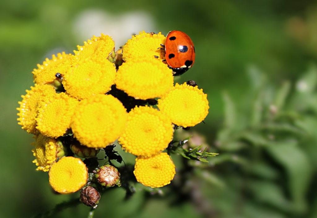 цветки пижмы
