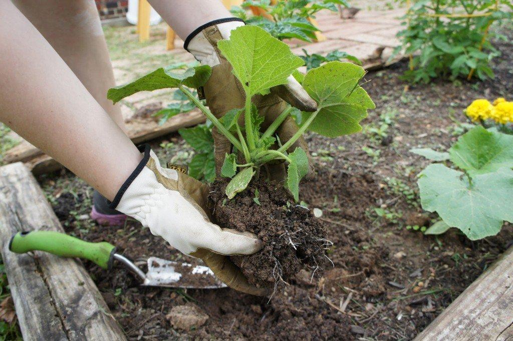 Высадка рассады тыквы в открытый грунт