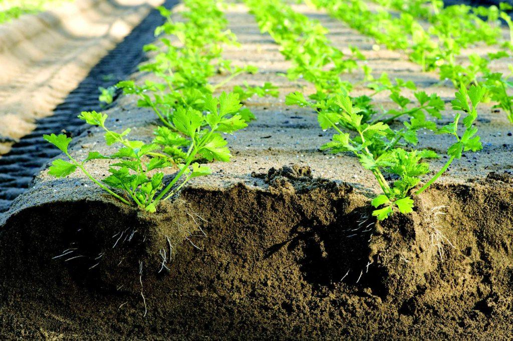 сельдерей черешковый выращивание