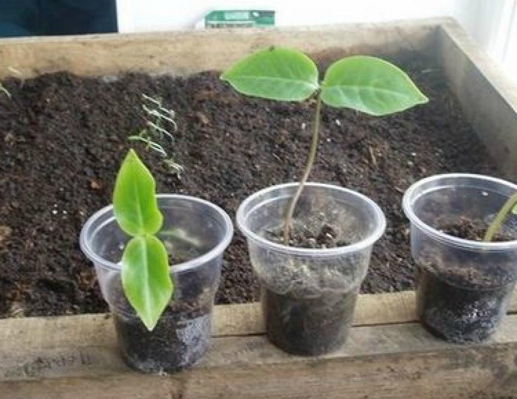 кобея выращивание