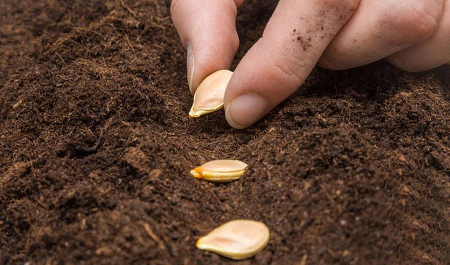 Посадка тыквы семенами