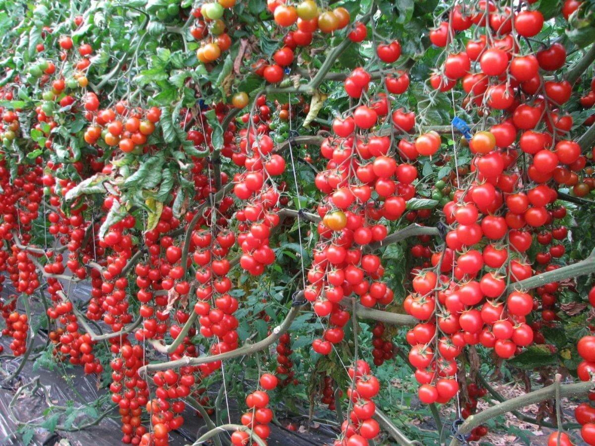 Куст кистевых томатов