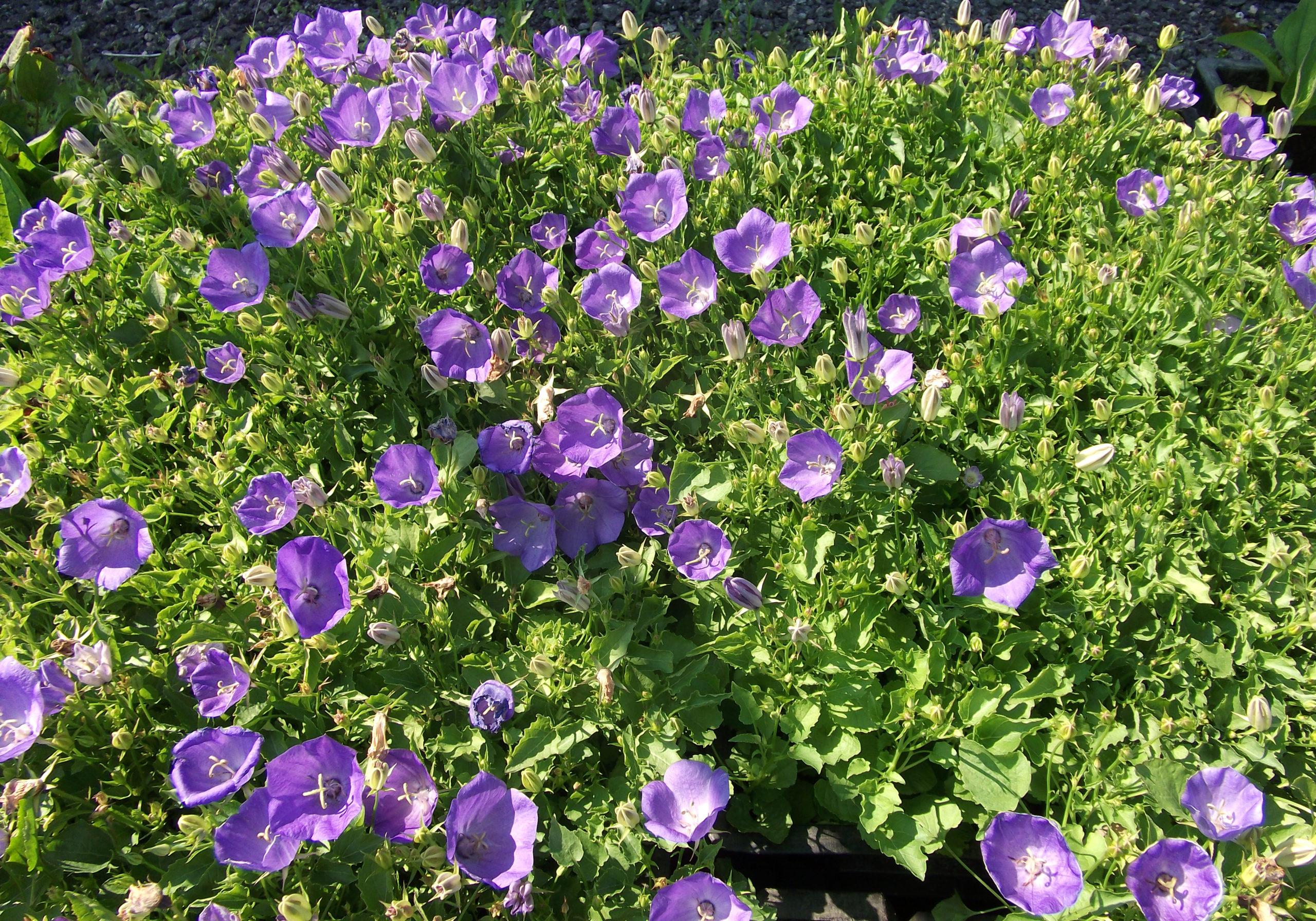 Колокольчик Карпатский фиолетовый