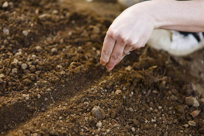 Посев семян Эустомы в открытый грунт