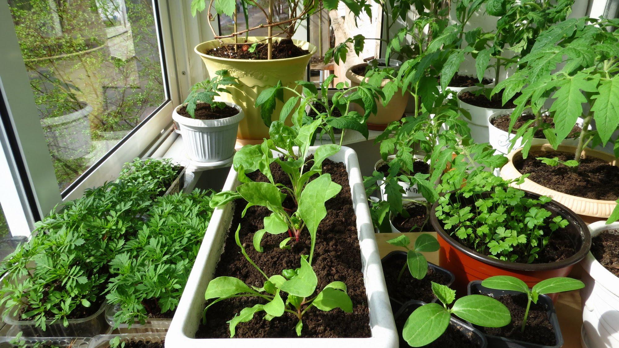 Как приготовить семена для рассады