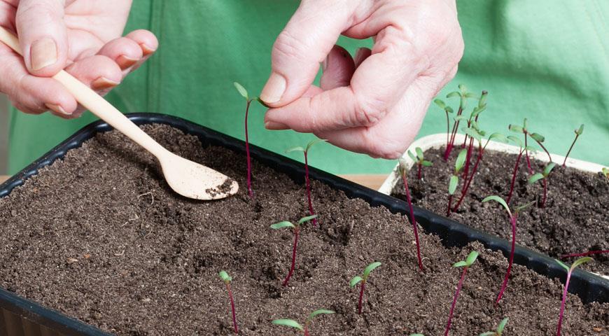 Выращивания рассады свеклы