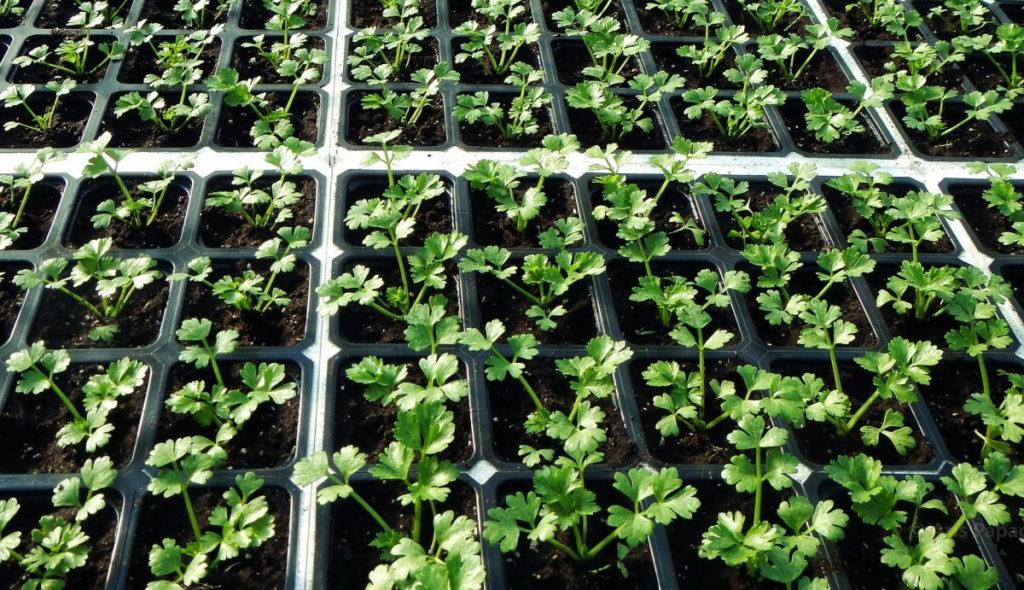 сельдерей выращивание