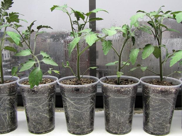 Пикировкаи растений