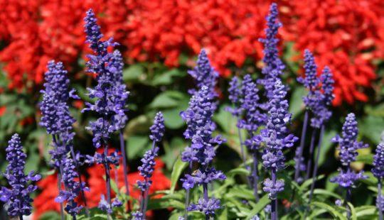 сальвия посадка цветов на рассаду