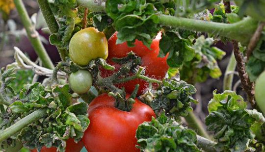 Сорт помидор палка