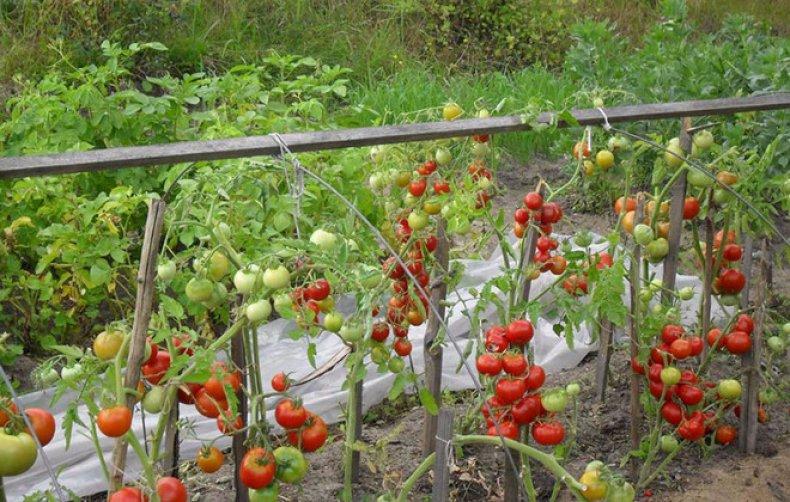 сорт помидоров Палка