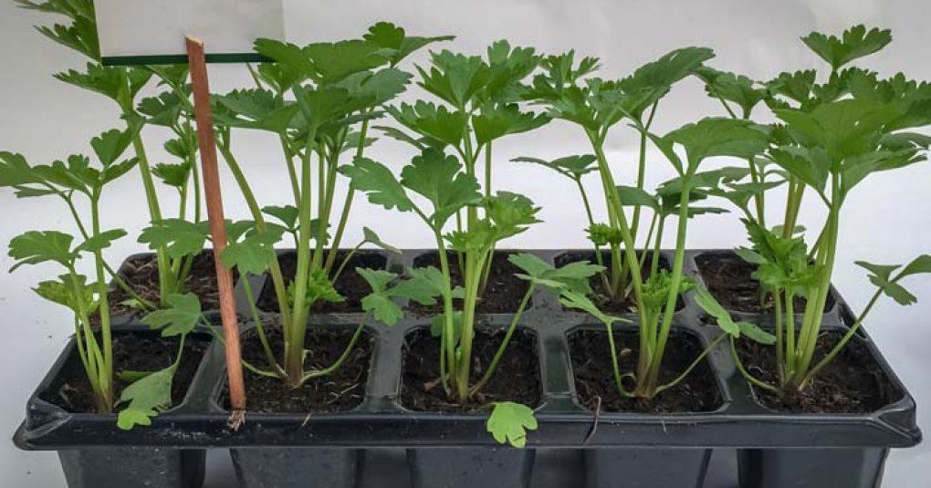 сельдерей семенами на рассаду