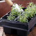 Как посеять лаванду семенами на рассаду