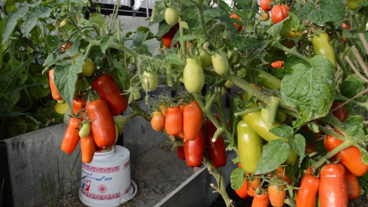 Жигало томат