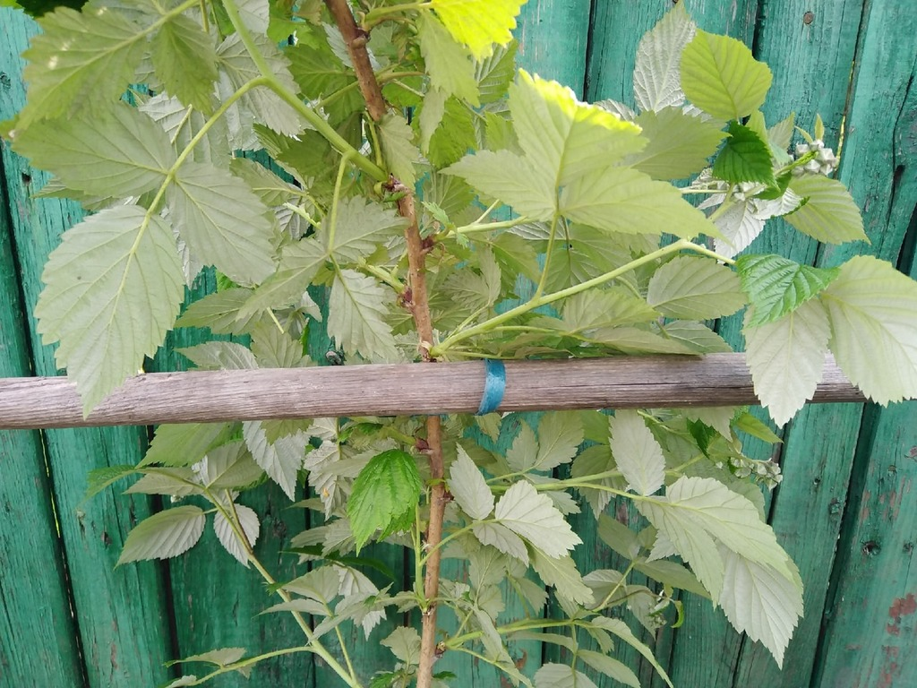 Ремонтантную малину выращивают на шпалере