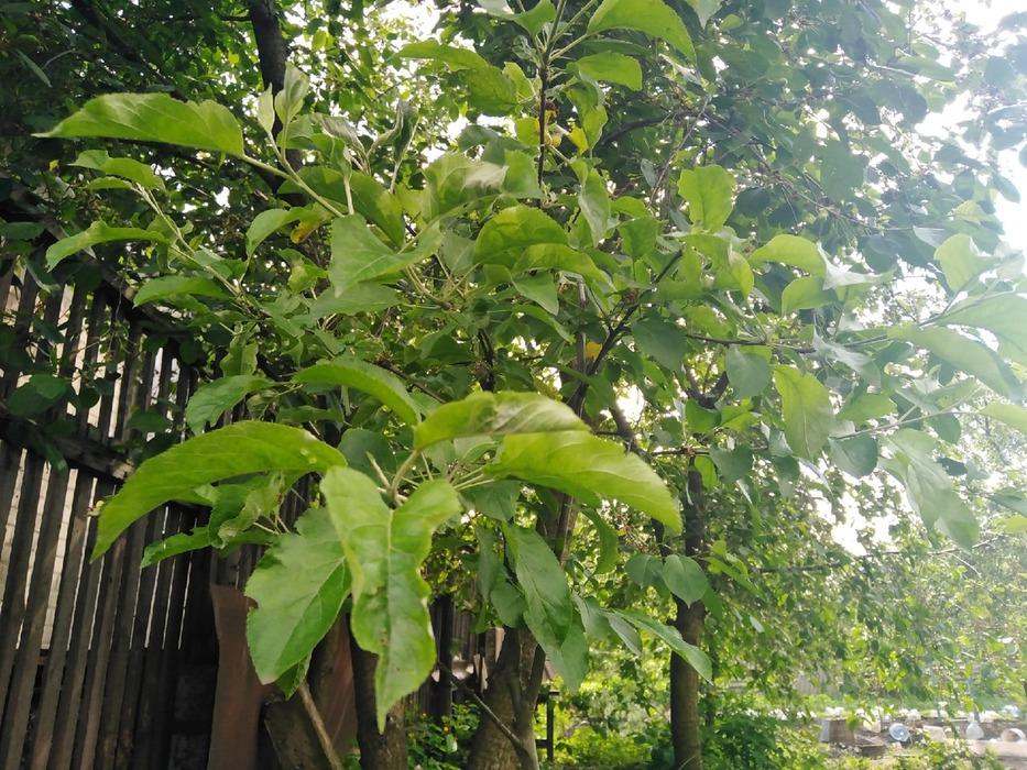 Яблоня и вишня