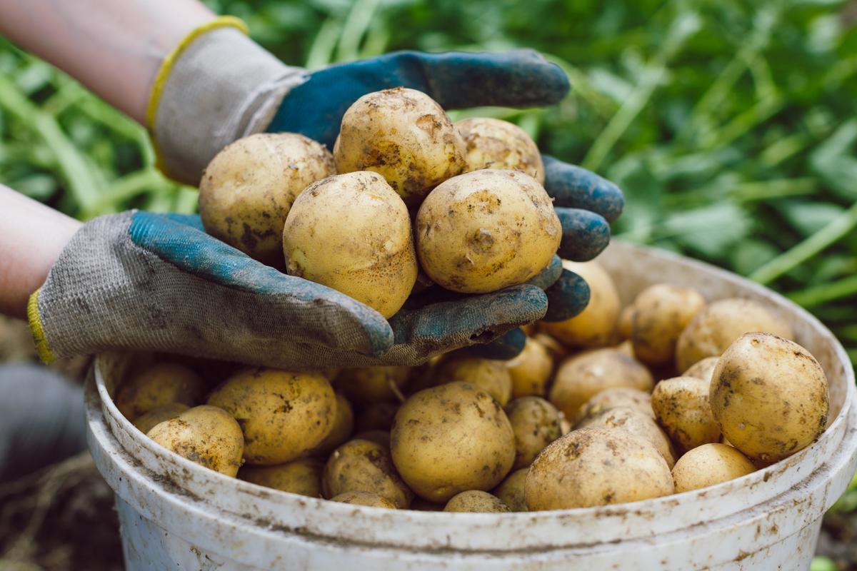 Как на одной сотке вырастить урожай картофеля как на пяти