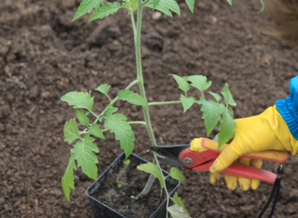 Обрезание рассады томатов