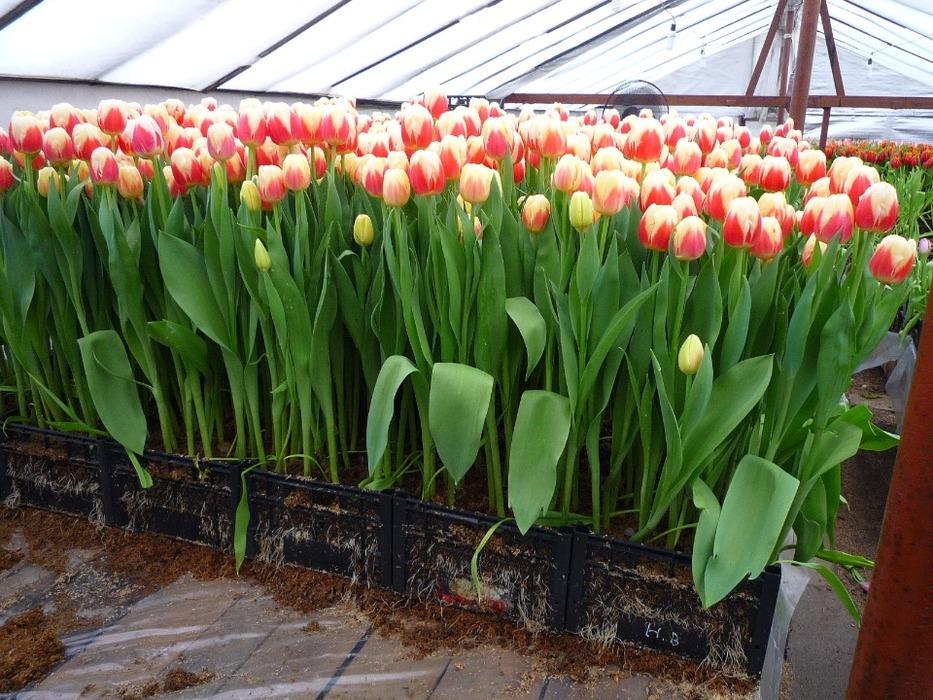 Тюльпаны с луковицей