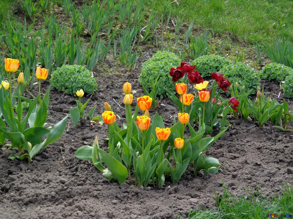 Тюльпаны цветущие в огороде