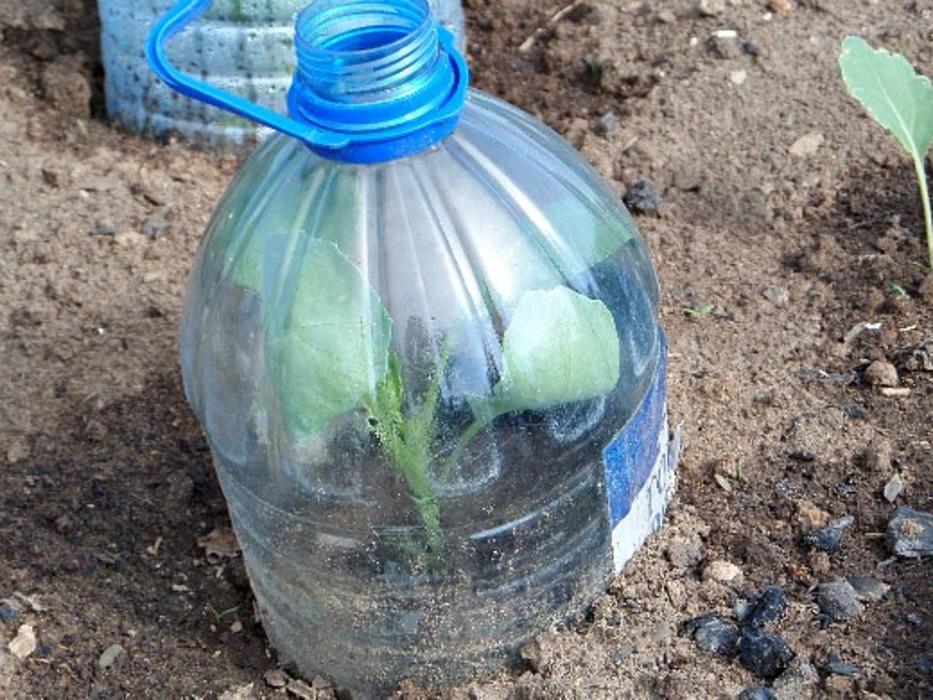 Капуста под пластиковыми бутылками