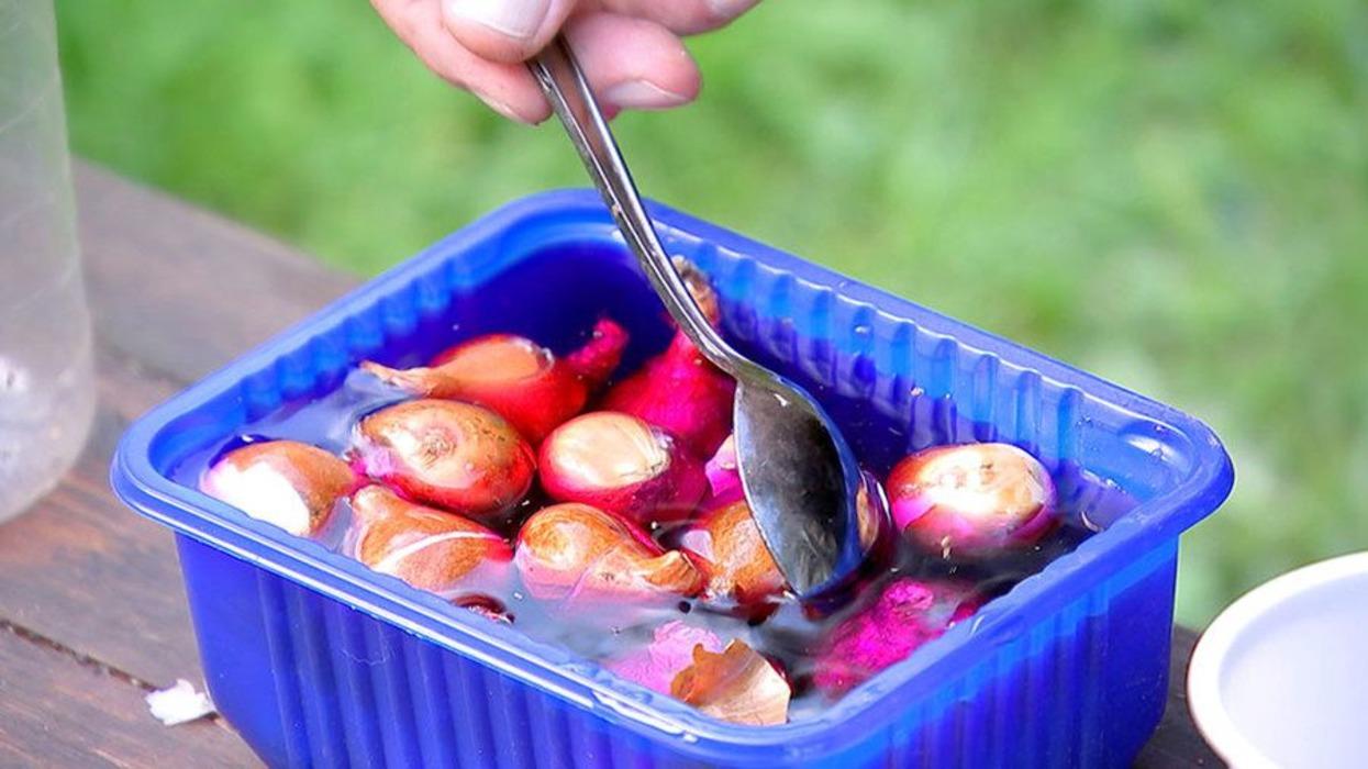 Луковицы тюльпанов в марганцовке
