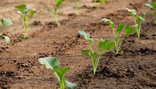 Что нужно знать о выращивании капусты