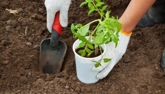 Что класть в лунку, чтобы томаты быстрее прижились в открытом грунте