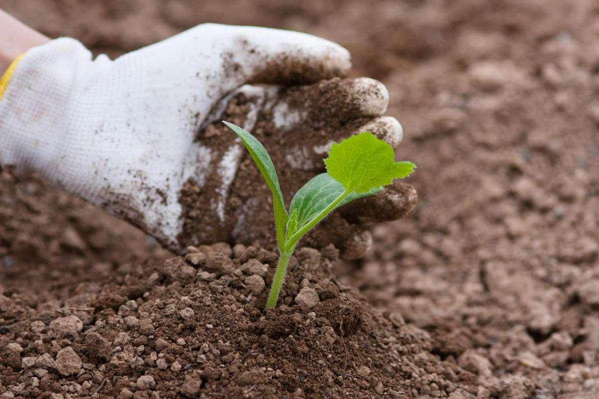 Бюджетное и эффективное удобрение для кабачков и других культур, требовательных к почве