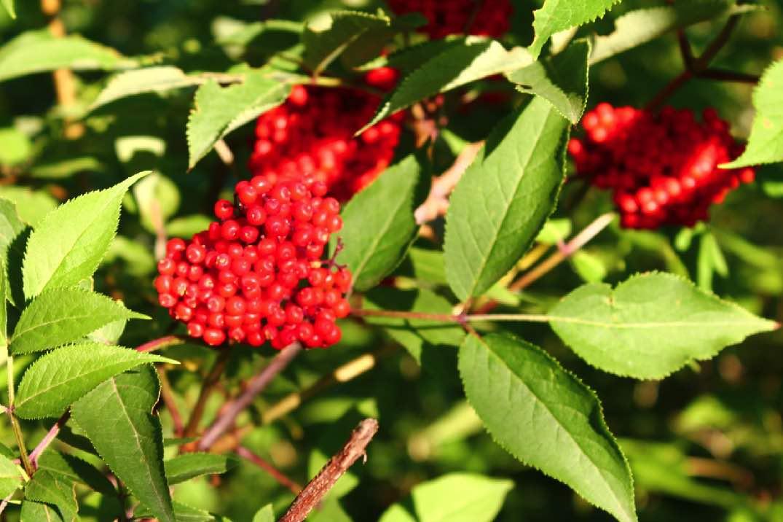 Растение красная бузина