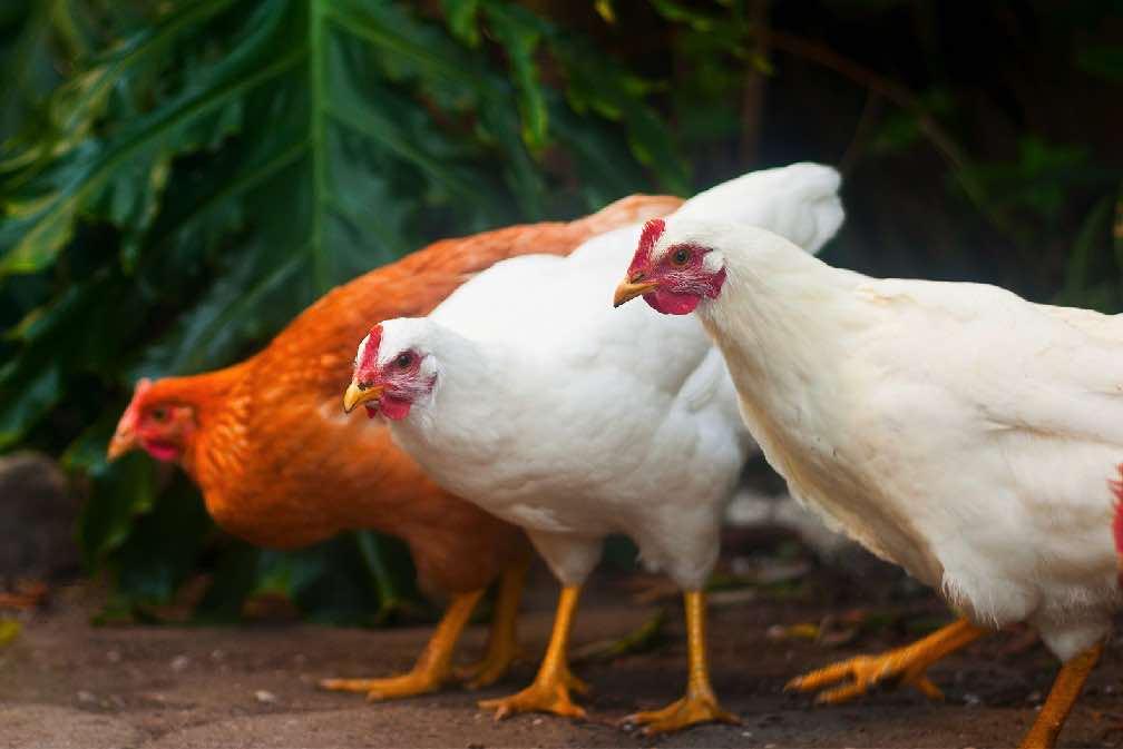 Содержание кур