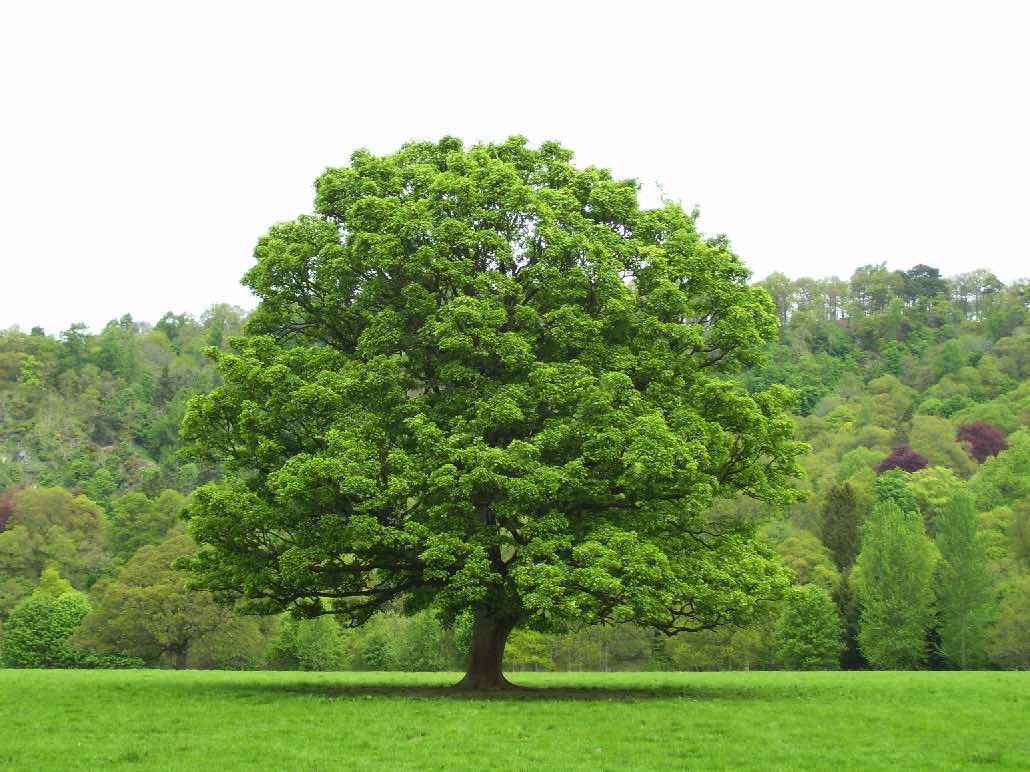 Дуб дерево