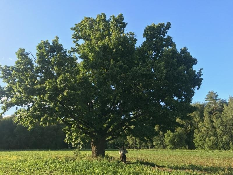 Красивый дуб