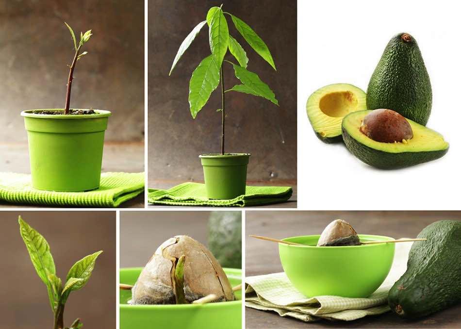 Авокадо. Как посадить?